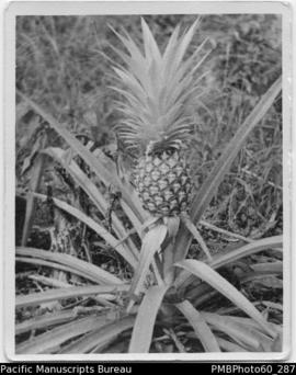 A pineapple tree