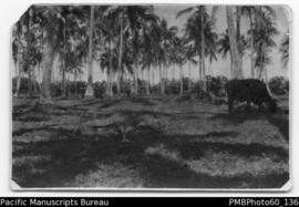Cow grazing among coconut palms