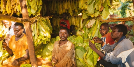 Men bundle tobacco leaves for drying in Malawi