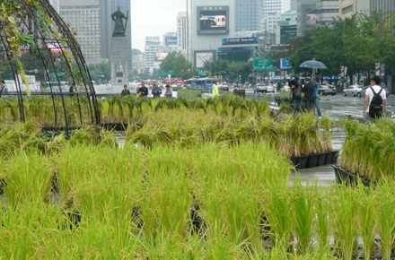 Rice on display in Seoul, South Korea. Photo by Andrew Walker.