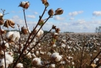 Cotton extracts