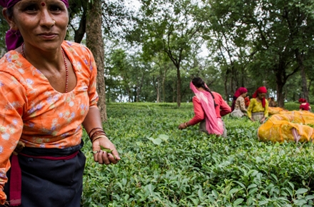 Indian farmers, harvesting tea, increasing face extreme weather and climate challenges. Photo by CGIAR Climate on flickr.