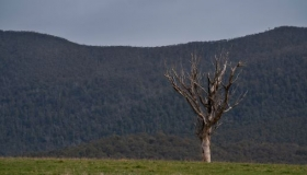 A dead tree stands in a green field with the Tidbinbilla Mountain range in the background